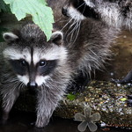 Blind Raccoon's New Baby
