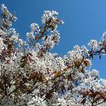 Blooming fruit tree 2