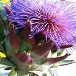 blooming artichoke