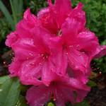 Rhodies in Bloom