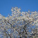 Blooming fruit tree 1