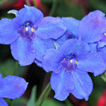 "Larkspur  ""Summer Nights"""