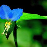 Blue Mouseflower