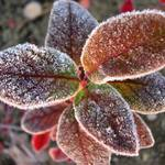 frost on blueberry