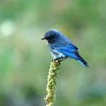 Lil Blue Bird