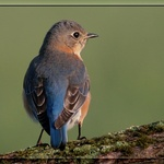 Morning Sun Bluebird