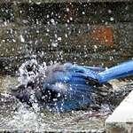 Blue Jay Bathing (Stellers Jay)