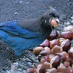 Stellars Jay, &quot;quit staring!)