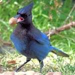 Blue Jay's Tongue & Acorn