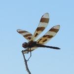 Blue Sky Dragonfly