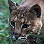 Bobcat