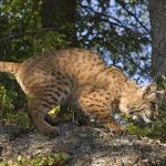 Bobcatf