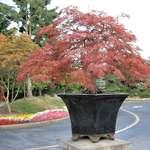 Bonsai Tree at Garden Entrance