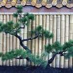 Bonsai Pine Tree  2007