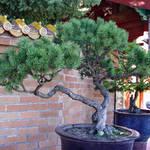 Bonsai Tree - pine