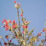 bottlebrush...