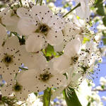 Bradford Pear Tree in Bloom 2