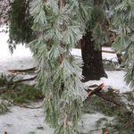 Broken Pine Tree