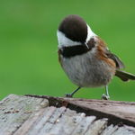 Brown-backed Chickadee