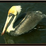 Brown Pelican at Everglades City
