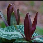 Budding Trillium