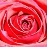 A budding Rose..