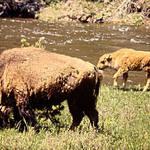 Buffalo With Calf