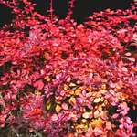 Burning Bush - Japanese Barberry &quot;Rose Glow&quot;