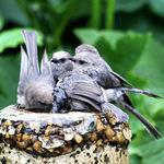 Bushtit Family huddled together at bath