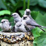 Bushtits bathing, - they hear shutter