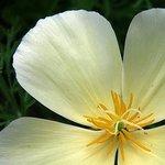 Buttercup Poppy