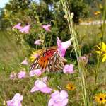 Gulf Fritillary in Purple Gerardia
