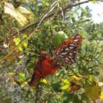 Gulf Fritillary and Grape Leaf