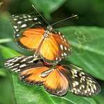 Butterflies Mating?
