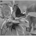 Butterfly  B/W