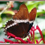Butterfly Series - 5