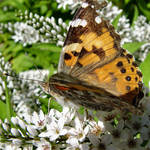 Painted Lady Butterfly  with Gold Dust, & feeding tube