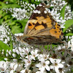 Butterfly 4, Painted Lady,with gold iridescence