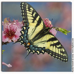 Swallowtail on Peaches