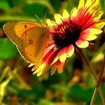 Butterfly On Firewheel 2