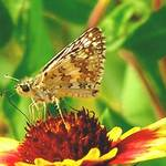 Tiny Checkered Skipper