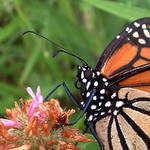 Monarch Butterfly 02