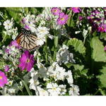 Monarch In Primula