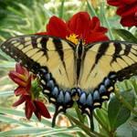 papillon du jour - deux