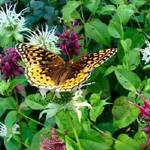 Butterfly_1a