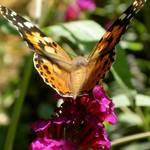 Butterfly du Jour - quatre