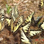 Butterfly Feast
