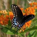 Midnight Swallowtail