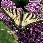 Tiger Swallowtail Butterfly on Lilac Blooms