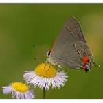 Gray Hairstreak on Daisy Fleabane